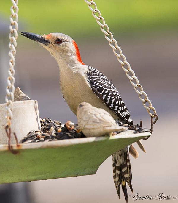 red-head-woodpecker-1