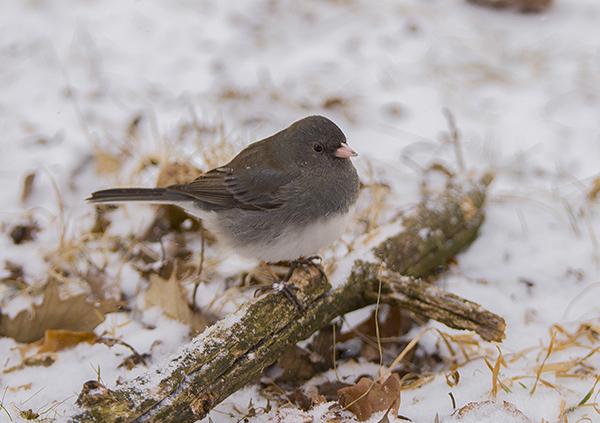 snow_bird_DSC_5634-1