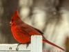 Red-Cardinal-ll-nocopy-DSC_5672-1