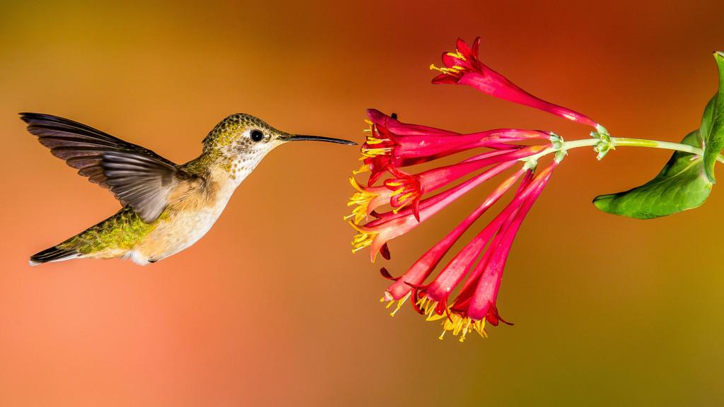 Hummingbird_Hero_Roger_Levien
